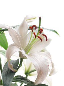 Free Flower Lily Royalty Free Stock Photo - 29726445
