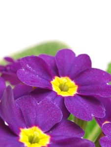 Free Flower Primula Stock Photography - 29726832