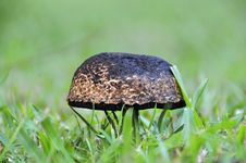 Free Close Up Wild Bush Mushroom & Green Grass Stock Photos - 29734893