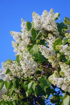 Free Bird-cherry Tree Blooming, Blue Sky Background Stock Photo - 29734930