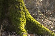 Free Moss Royalty Free Stock Photography - 29738037