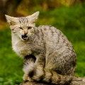 Free Agressive Wild Cat Stock Images - 29743294
