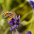 Free Butterfly On Lavender Royalty Free Stock Photos - 29743808