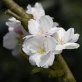 Free Apple Tree With Spring Blossom Stock Photo - 29743940