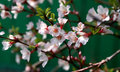 Free Cherry Blossoms Stock Photography - 29744902