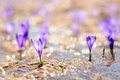 Free Crocus Flowers Growing In Stream Stock Image - 29749231