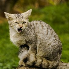 Free Agressive Wild Cat Stock Images - 29743294