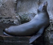 Free Marine Seal Royalty Free Stock Image - 29745936