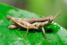 Free Grasshopper Royalty Free Stock Photos - 29746868