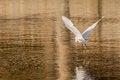 Free Little Egret In Flight Royalty Free Stock Photos - 29752418