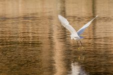 Free Little Egret In Flight Royalty Free Stock Photos - 29752418