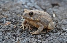 Free Sandy Toad Royalty Free Stock Image - 29753356