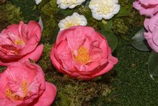 Free Camellia, Flowers, Exposition Stock Photos - 29755163