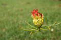 Free Flame Lily Royalty Free Stock Photography - 29766807