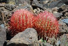 Free Pair Of Young Barrel Cacti Near Black Mountain, Henderson, Nevada Royalty Free Stock Photography - 29760677