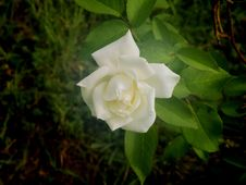 Free Single White Rose Royalty Free Stock Images - 29760959