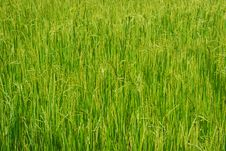 Free Paddy Field Royalty Free Stock Photos - 29763388
