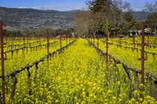 Napa Valley Vineyard Royalty Free Stock Photos