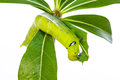 Free Green Caterpillar On Tree Stock Image - 29776881