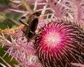 Free Beetle Procreation On Thistle Stock Image - 29779401