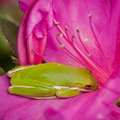 Free Green Tree Frog Naps In An Azalea Royalty Free Stock Photography - 29779547