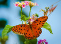 Free Gulf Frittalary Butterfly On Lantana Royalty Free Stock Images - 29779659