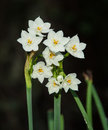Free Paperwhites In Spring Royalty Free Stock Photos - 29779708
