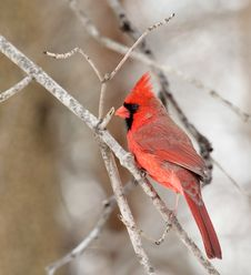Free Male Cardinal Stock Images - 29771064