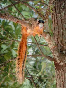 Free Bachman S Squirrel Eating A Nut Royalty Free Stock Photo - 29779515
