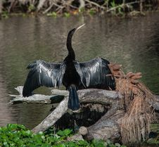Free Sunning Anhinga Royalty Free Stock Photography - 29779727