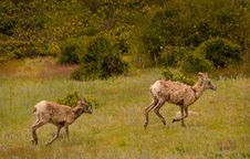 Free Young Big-Horned Sheep Running In Meadow Stock Photo - 29779780