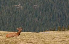 Free Young Elk Rests On A Hill Royalty Free Stock Photo - 29779785