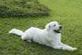 Free White Dog In Green Grass Background Stock Image - 29789881