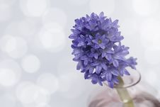 Free Hyacinth Flowers. Stock Image - 29781881