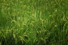Free Close Up View Of Rice Plant Stock Photography - 29784202