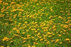 Dandelions Meadow Stock Photo