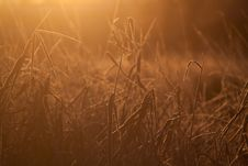 Free Reeds In Sunshine Stock Images - 29788674