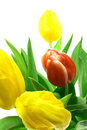 Free Beautful Tulips On A White Stock Images - 2984104