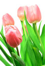 Free Beautful Tulips On A White Royalty Free Stock Image - 2984196