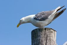 Free Seagull Royalty Free Stock Images - 2980769