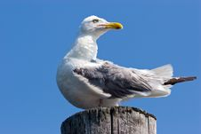 Free Seagull Stock Images - 2980814