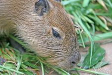 Free Capybara Royalty Free Stock Images - 2981979