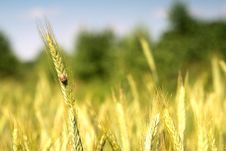 Free Wheat And Blue Sky Behind. Stock Photos - 2983613