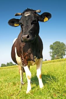 Free Single Cow On A Meadow Stock Photos - 2983713