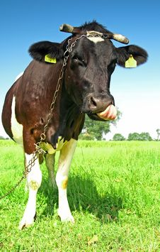 Free Single Cow On A Meadow Stock Photos - 2983763