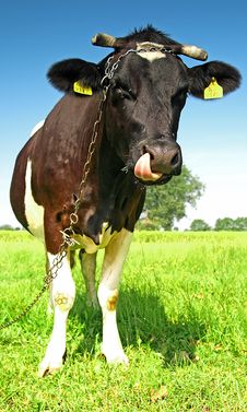 Free Single Cow On A Meadow Stock Photography - 2983772