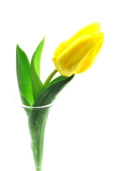 Beautful Tulip On A White Royalty Free Stock Photography