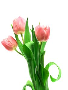 Free Beautful Tulips On A White Royalty Free Stock Photo - 2984225