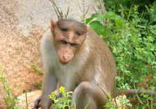 Free Thinking Monkey Royalty Free Stock Images - 2984929