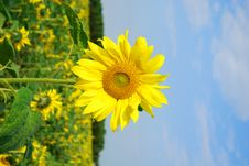 Free Sunflower Royalty Free Stock Photos - 2985088